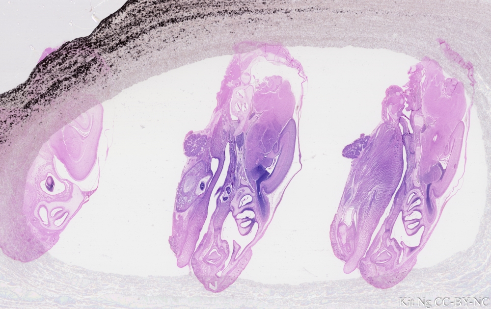 Rat Embryo head